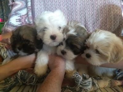 Shih-Poo-Shih Tzu Mix PUPPY FOR SALE ADN-92618 - Shihpoo Bliss