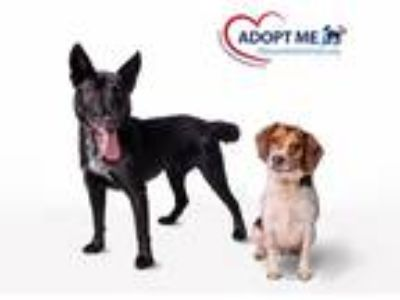 Adopt Sally a Tricolor (Tan/Brown & Black & White) Beagle / Mixed dog in