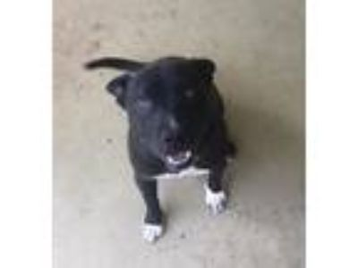 Adopt Romeo a Black American Pit Bull Terrier / Boston Terrier dog in