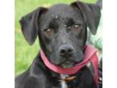 Adopt Elijah a Black Labrador Retriever / Boxer / Mixed dog in Huntley