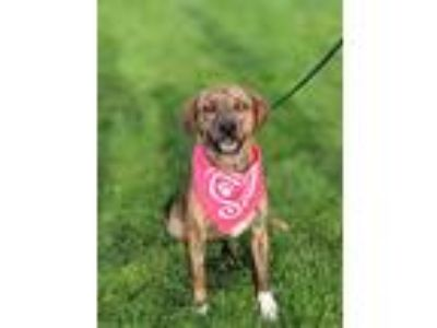 Adopt Lorna a Brindle Catahoula Leopard Dog / Retriever (Unknown Type) / Mixed