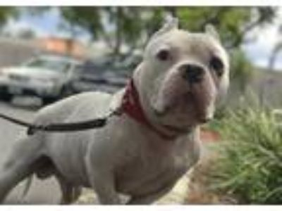 Adopt Dubs a Staffordshire Bull Terrier / Mixed dog in San Diego, CA (25372772)