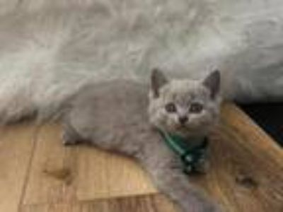 British Shorthair Kitten 2