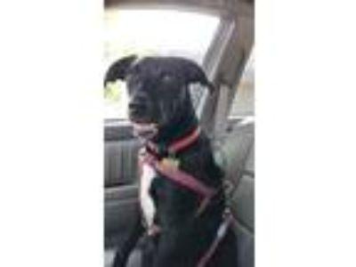 Adopt Captain a Black - with White Australian Cattle Dog / Labrador Retriever /