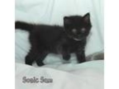 Adopt Sonic Sam a All Black Domestic Mediumhair / Mixed cat in Hot Springs