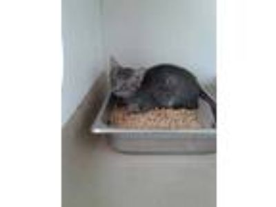Adopt 41968603 a Gray or Blue Domestic Shorthair / Domestic Shorthair / Mixed