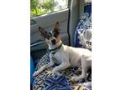 Adopt Cooper a Rat Terrier, Toy Fox Terrier