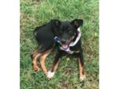 Adopt CHESTER a Black - with Brown, Red, Golden, Orange or Chestnut Rottweiler /