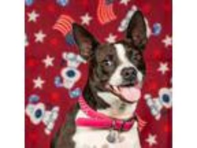 Adopt Betty Boop a Boston Terrier