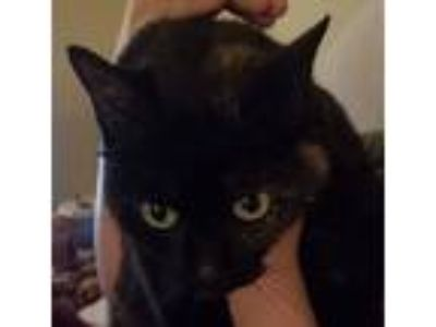 Adopt Midnight a Black (Mostly) American Shorthair cat in Acworth, GA (24763516)
