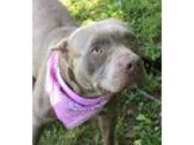 "Adopt ""Debbie"" 5628 a Pit Bull Terrier"