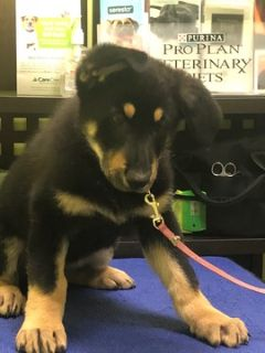 German Shepherd Dog PUPPY FOR SALE ADN-80082 - Pure Breed German Shepherds for Sale