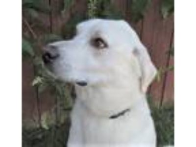 Adopt JACK a Great Pyrenees / Mixed dog in Franklin, TN (25831159)