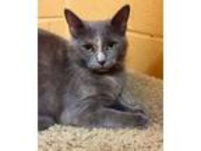 Adopt Maddie a Domestic Short Hair