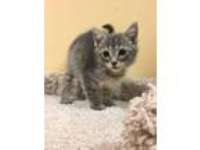 Adopt Raider a Gray, Blue or Silver Tabby Domestic Shorthair (short coat) cat in
