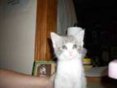 Adopt 35799475 a Gray or Blue Domestic Shorthair / Domestic Shorthair / Mixed