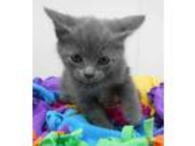 Adopt Jag KITTEN SHOWER ATTENDEE a Gray or Blue Domestic Shorthair / Domestic