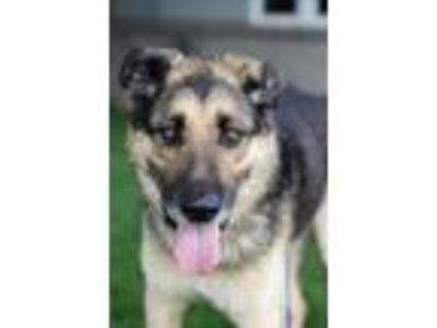 Adopt Theodore a German Shepherd Dog, Mixed Breed