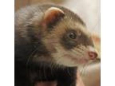 Adopt Mitch a Sable Ferret / Ferret / Mixed small animal in West Kennebunk