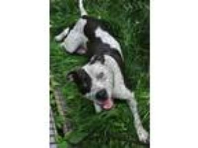 Adopt Z Courtesy Post - Mutsy a Pit Bull Terrier, Pointer