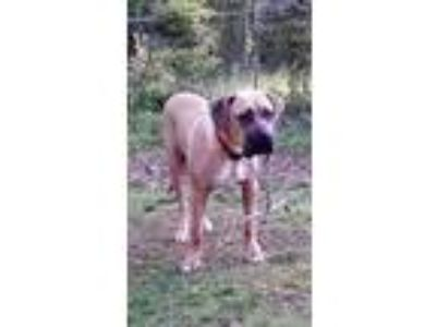 Adopt Dexter *FOSTER NEEDED TOO! a Bullmastiff, Boxer