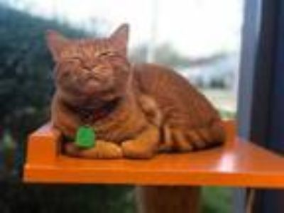 Adopt Pollux a Orange or Red Domestic Shorthair / Domestic Shorthair / Mixed cat