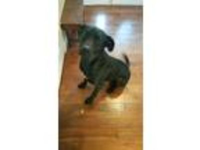 Adopt Boomer a Black - with White Great Dane / Labrador Retriever / Mixed dog in