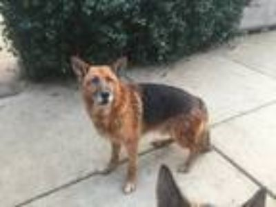 Adopt Spartak a Red/Golden/Orange/Chestnut - with Black German Shepherd Dog /