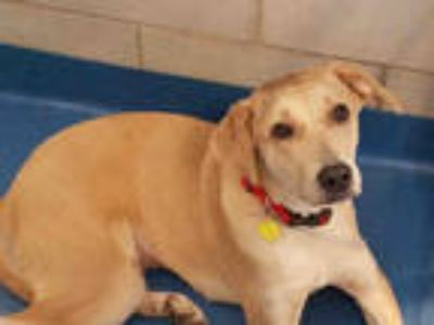 Adopt CASSIE a Tan/Yellow/Fawn Labrador Retriever / Mixed dog in Dallas