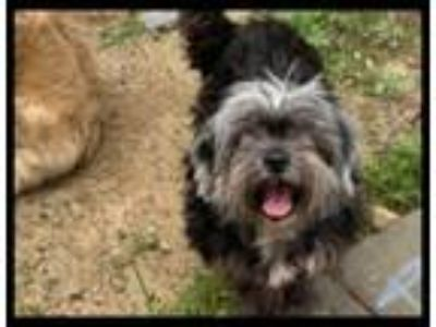 Adopt Queenie a Gray/Blue/Silver/Salt & Pepper Shih Tzu / Mixed dog in Cherry