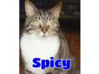 Adopt #4625 Spicy a Brown Tabby Domestic Shorthair / Mixed (short coat) cat in