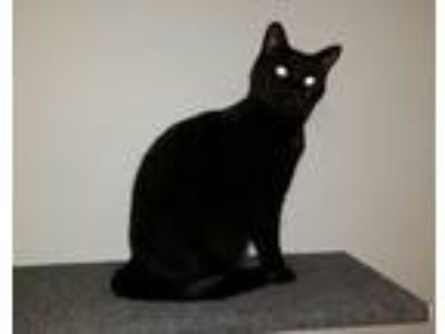 Adopt Thea a Black & White or Tuxedo Domestic Shorthair / Mixed cat in