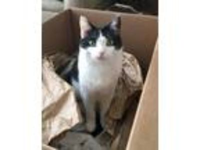 Adopt Boogs a Black & White or Tuxedo Domestic Mediumhair cat in Pasadena