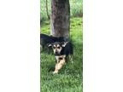 Adopt Frankie a Black - with Tan, Yellow or Fawn Beagle / Mixed dog in