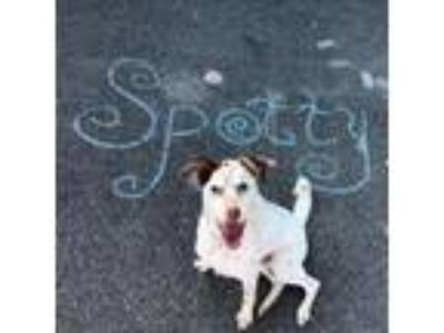Adopt Spotty a Pointer, English Setter