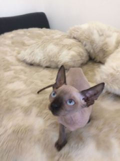 Hairless Sphynx kittens with Blue eyes # 339-970-9126
