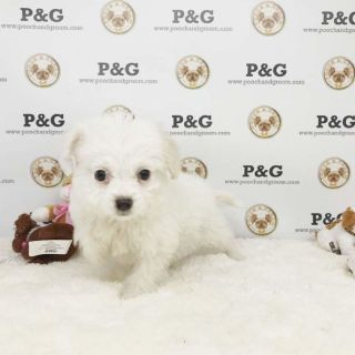 MALTIPOO - ALICE - FEMALE