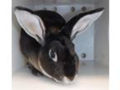 Adopt Mocha a Other/Unknown / Mixed rabbit in Houston, TX (25942303)