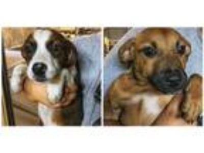 Adopt Bro and Sis a Hound (Unknown Type) / Terrier (Unknown Type