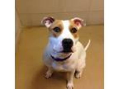 Adopt Sophie a Pit Bull Terrier, Mixed Breed