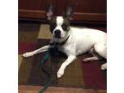 Adopt Ranger-25 lbs a Boston Terrier