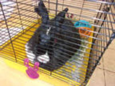 Adopt RAMEN a Black Other/Unknown / Mixed rabbit in Brighton, CO (25551669)