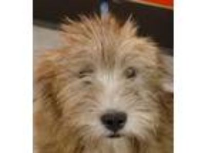 Adopt Gordon a Wirehaired Terrier