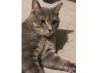 Adopt Scooby a Gray, Blue or Silver Tabby Domestic Shorthair (short coat) cat in