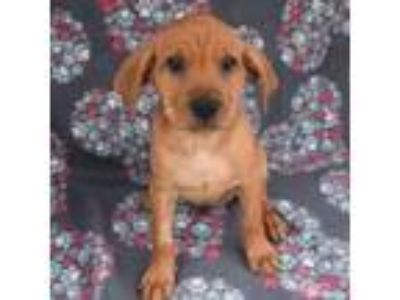Adopt Verona Pup - Tybalt - Adopted! a Shepherd (Unknown Type) / Collie / Mixed