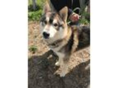 Adopt WILEY a Black - with Tan, Yellow or Fawn Husky / Mixed dog in Chico
