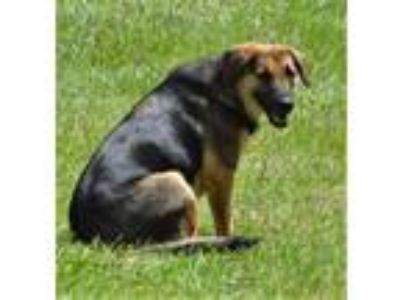 Adopt Myra a German Shepherd Dog