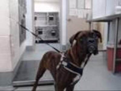 Adopt DUDLEY a Boxer