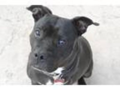 Adopt Yara a American Staffordshire Terrier / Mixed dog in Lake Forest
