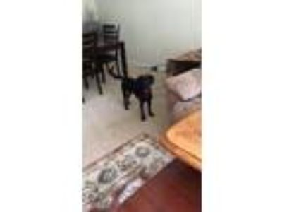 Adopt Andre a Black Labrador Retriever / Terrier (Unknown Type